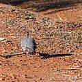 Crested pigeon Hamilton St Boulia Queensland P1040071.jpg