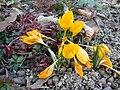 Crocus ancyrensis (BG Zurich)-03.JPG