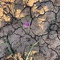 Crocus sativus, Taliouine, Morocco 01.jpg