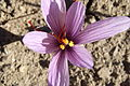 Crocus sativus, saffron (34).jpg