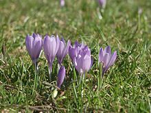 Crocus vernus group1.jpg