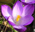 Crocus vernus violet detail vdg.jpg