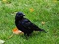 Crow (50346096).jpeg