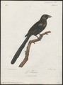 Crypsirhina varians - 1796-1808 - Print - Iconographia Zoologica - Special Collections University of Amsterdam - UBA01 IZ15700063.tif