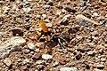 Cryptocheilus alternatus with Hogna radiata.jpg