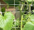 Cucumbers growing on a string lattice structure.jpg