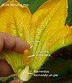 """Cucurbita pepo """"zapallo de Angola"""" semillería La Paulita - flor masculina 6 - parte de la corola removida, estambres unidos y polen, etiquetas 2.jpg"""