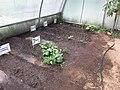 Cultivo del Pepino Cucumber 4.jpg