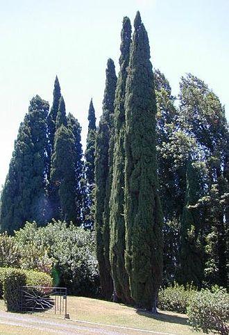 Cupressus sempervirens - Fastigiate Mediterranean cypress Cupressus sempervirens 'Stricta', planted in Hawaii
