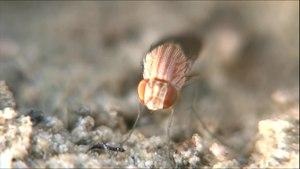 File:Curtonotum oviposition - 2017-03-07.webm