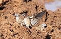 Cut-throat finch, Amadina fasciata at Mapungubwe National Park, Limpopo, South Africa (album includes copulating pair) (17863905652).jpg