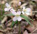 Cutleaf Toothwort (Dentaria laciniata) - Flickr - Jay Sturner (3).jpg