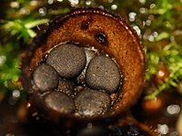 Cyathus stercoreus Fruchtkörper.JPG