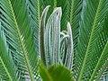 Cycas revoluta 003.jpg