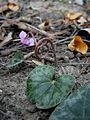 Cyclamen purpurascens fruit2.jpg