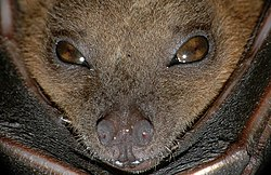Cynopterus brachyotis (Lesser short-nosed fruit bat).jpg