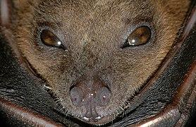 Cynopterus brachyotis (Lesser short-nosed fruit bat).jpg