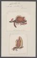 Cynthia rustica - - Print - Iconographia Zoologica - Special Collections University of Amsterdam - UBAINV0274 092 01 0035.tif