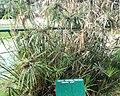 Cyperus alternifolius - Arusha botanical gardens.jpg