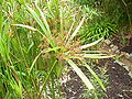 Cyperus textilis florette.jpg