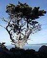 Cypress, Point Lobos 1 18 19 (46748424442).jpg
