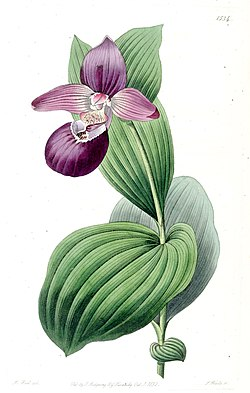 Cypripedium macranthos - Edwards vol 18 pl 1534 (1832).jpg