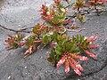 Cyrilla racemiflora.jpg