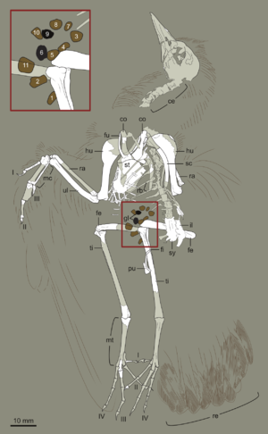 Hongshanornis - Interpretive drawing of specimen DNHM D2946, showing location of gizzard stones