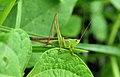 DRC grasshopper lo (4108203213).jpg