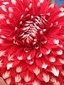 Dahlia - Indian Botanic Garden - Howrah 2012-01-29 1771.JPG