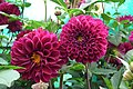 Dahlia at Lalbagh flowershow aug2011 7033.JPG