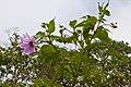 Dahlia imperialis-0782 copy - Flickr - Ragnhild & Neil Crawford.jpg