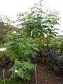 Dahlia imperialis-Jardin des plantes 02.JPG
