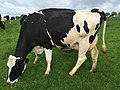 Dairy cow in France.jpg