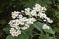 Daisy Tree (Montanoa bipinnatifida) 3541.jpg