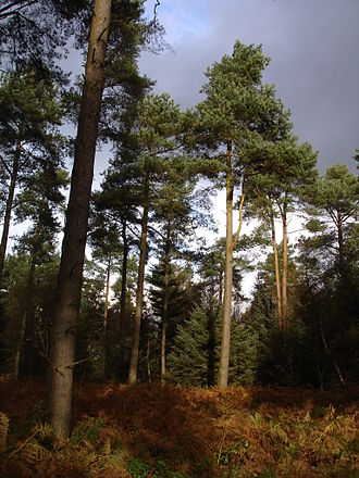 Dalby Forest - A stand of Scots Pine in Dalby Forest