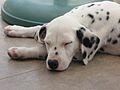 Dalmatian puppy 01.jpg