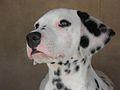 Dalmatian puppy 02.jpg