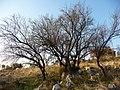 Danza degli alberi - panoramio.jpg