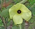Decaschistia crotonifolia in Talakona, AP W IMG 8571.jpg