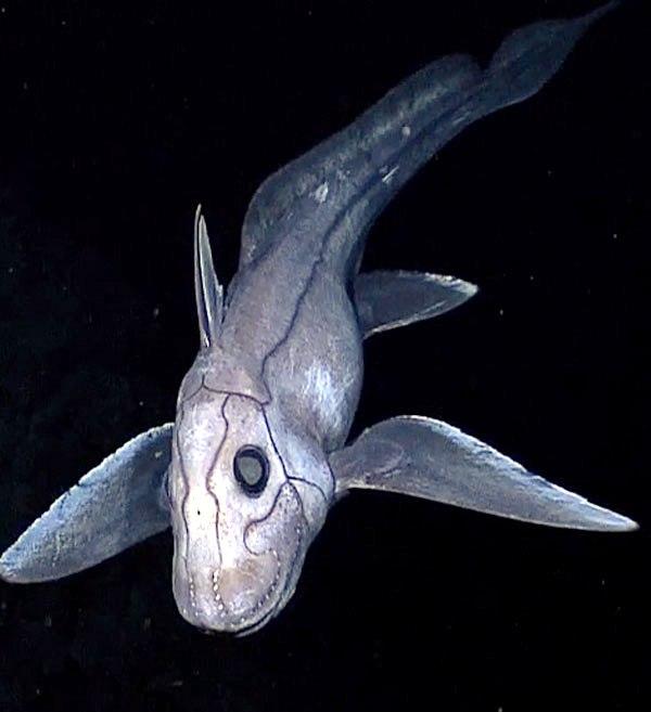 Deep sea chimaera