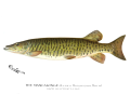 Denton Muskellunge 1896.png