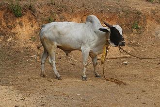 Deoni cattle - Deoni bull