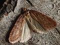 Depressaria olerella (39961432635).jpg