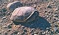 Desert Tortoise1 (6215576616).jpg