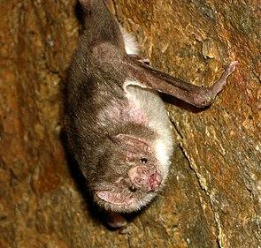 Gemeiner Vampir (Desmodus rotundus)