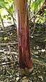 Detalle pseudotallo banano morado (AAA).jpg