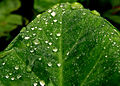 Dew drops on a leaf.JPG