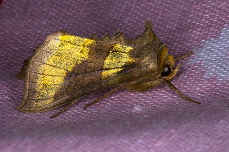Diachrysia chrysitis, Lodz(Poland)03(js).jpg
