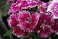 Dianthus Telstar Purple Picotee 2zz.jpg